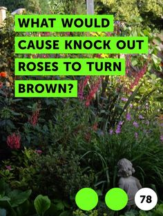 What Would Cause Knock Out Roses to Turn Brown?. Knockout roses are a favorite rose variety for many gardeners because they are available in a wide range of colors and are relatively easy to grow. Although bred for disease resistance, knockout roses are susceptible to several rose-specific diseases and fungi. They also require proper watering... Growing Psychedelic Mushrooms, Trippy Mushrooms, Edible Mushrooms, Wild Mushrooms, Stuffed Mushrooms, Oxalis Acetosella, Clover Plant, Leaf Clover, Growing Mushrooms At Home
