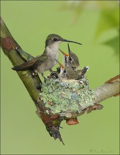 Ruby Throated Hummingbird on nest..oh my