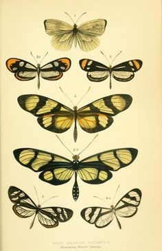 South American butterflies. Illustrating mimetic analogy.  _Curiosities of entomology_ 1871