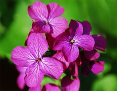 Grow 'Honesty' From Seed.