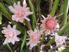 etlingera | Etlingera elatior edible pink torch ginger  - check!