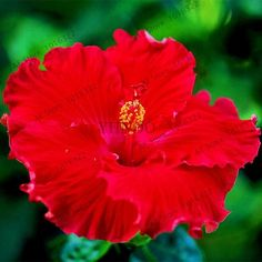 100pcs/bag Hibiscus Flower Seeds,DIY Home Garden potted or yard flower seeds,easy to grow for home garden