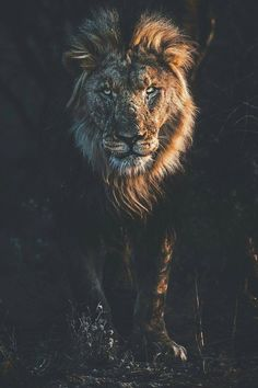 Photo by C'est moi Simba, c'est moi le roi . Lion Wallpaper, Animal Wallpaper, Lion Tattoo Sleeves, Lion Photography, Wild Lion, Lion Pictures, Lion Art, Big Cats, Animal Drawings