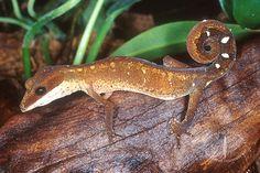 Aeluroscalabotes felinus felinus - Cat gecko #geckos #lizards