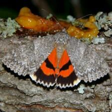 Catocala meskei © Tim Dyson Meske's Underwing Moth