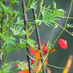 Cardinal Climber: The flowers of Cardinal Climber are dainty, but there are lots of them.