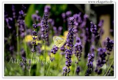 * Augenblicke * www.ekagatta.de * Lavendel liebender Schmetterling *