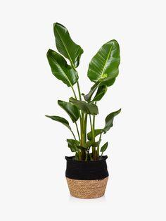 The Little Botanical Extra Large Strelitzia Plant & Basket at John Lewis & Partners Exotic House Plants, Unusual Plants, Strelitzia Plant, Botanical Fashion, Plant Delivery, Belly Basket, Plant Basket, Pond Life, Presents For Friends