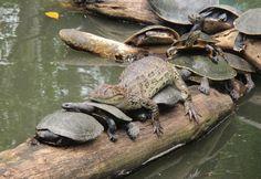 Jacaré 'folgado' é visto sobre tartarugas no zoológico do Rio de Janeiro (Foto: Christiane Voss/VC no G1)