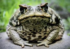 The cane toad is native to Central and South America, and an invasive species in Australia. It was introduced to Australia in 1935 to protect crops against cane beetles. Reptiles And Amphibians, Mammals, Carpeaux, Tuck Everlasting, Live Animals, Small Animals, Farm Animals, Australian Animals, Frog And Toad