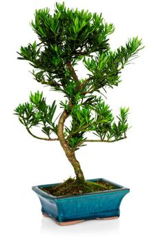 Are Bonsai Tree Plants Bad Feng Shui for My Home?: A healthy bonsai tree plant can be an excellent addition to any space, be it home or office. Be sure you love the look and feel of the bonsai tree, as well as know how to take care of it. Be also sure to place your bonsai in a good feng shui bagua area.