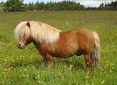 Shetland pony information, Kellas Shetland ponies and horse coat colour pages, Kellas Shetland sheep Tiny Horses, Work Horses, Shetland Pony For Sale, Shetland Ponies, Animals And Pets, Cute Animals, Farm Animals, Miniature Ponies, Horse Coat Colors