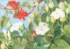 354. White Convolvulus and Kaffirboom, painted at Durban, Natal. Prints by Marianne North | Magnolia Box