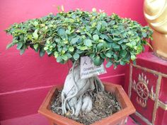 Introduction Ginseng ficus bonsai trees are very hardy and easy to take care of. Many beginning bonsai enthusiasts choose these trees to raise. They grow dense foliage, and they have very thick trunks. There are many different ficus trees, but. Ficus Ginseng Bonsai, Ficus Bonsai Tree, Flowering Bonsai Tree, Bonsai Tree Care, Bonsai Tree Types, Bonsai Soil, Bonsai Plants, Bonsai Garden, Gardens