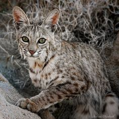 The bobcat is a beautiful creature. What amazing eyes. Project Noah.