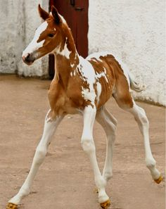 Exquisite Paint Foal.     Please note: Paints have jagged/sharp edges on their unusual shaped big spots. The Pintos are more rounded and have no rough edges whatsoever.