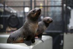 Especialistas em mamíferos marinhos dizem que várias #focas desnutridas e fracas estão chegando em números recordes à costa da #Califórnia, o que pode significar um desequilíbrio ambiental na fauna e flora oceânicas. Foto: Justin Sullivan/AFP.