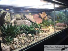 Spanish desert terrarium with Spiny-footed Lizard (Acanthodactylus erythrurus). Made by Sjoerd van Bemmel Reptile Zoo, Reptile House, Reptile Habitat, Terrarium Diy, Terrarium Reptile, Les Reptiles, Reptiles And Amphibians, Desert Lizards, Pets