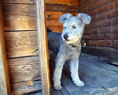 Pumi dog, Yogi, explores the livestock area around the guard station. He's looking for something to herd.    Currier Guard Station. Fremont National Forest, Oregon.     Rare dog breeds...more information on rare dogs...  http://doggytidbits.blogspot.com