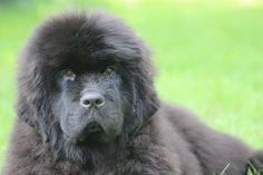 Newfies from pups to adults are always the sweetest pupstars - just look at this face <3
