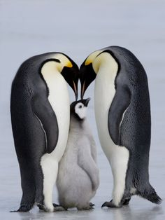 (nature artcircles - family) Emperor Penguin Chick and Adulta, Snow Hill Island, Weddell Sea, Antarctica, Polar Regions Photographic Print by Thorsten Milse at Art.com