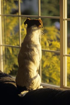 Jack Russell Terrier with alert expression on face looking out living room window at sunset All my photographs are copyright protected, If you wish to use my photos please contact me and we can discuss usage fees. ©Jim Corwin_All Rights Reserved -