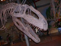 Giganotosaurus_Haifa-Aug2008.jpg (3648×2736) - À MadaTech, Haifa, Israël. Dinosauria, Saurischia, Theropoda, Carnosauria, Carcharodontosauridae, Carcharodontosaurinae, Giganotosaurini. Auteur : MathKnight, 2008.