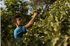 Birawar Najm Photography Page Liked · September 29, 2015 ·    Ababaelie Village, Halabja City, Iraq. Zanyar Saadun was born in Halabja in 1993. He studies at the third grade of Agriculture college in Halabja. He always helps his father with the work in the garden in Ababaelie. Every afternoon they come from Halabja to Ababaelie to water their garden and collect their fruits: fig, pomegranate, grape, nuts. Copyright: