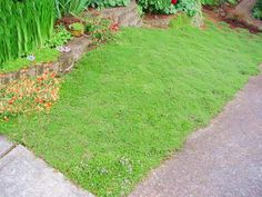 Low Maintenance Ground Cover Like This Red Creeping Thyme Not Only Do Covers Require Less Water And Little To No But They Can Thrive