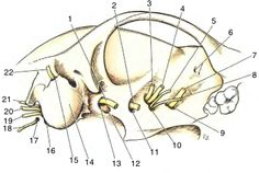 Cranial Nerves on Canine Skull - By BWall