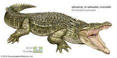 Giant Saltwater Crocodile Captured and Destined for Eco-Tourism Park | Britannica Blog