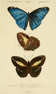 gravures couleur d'insectes - dessin insectes 0183 papillon morpho adonis - morpho adonis - Gravures, illustrations, dessins, images