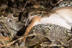 Bush breakfasts at Tortilis Camp - alfresco omelettes and bacon for our guests, and a poor unsuspecting Dik Dik for this Rock Python! Quite a sighting... Credit: Silverless