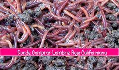 Donde Comprar lombrices rojas californianas