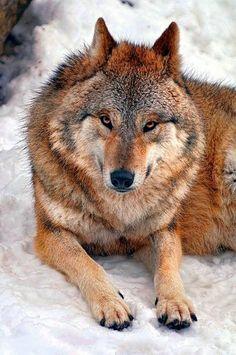 Mongolian-Tibetan Wolf (Canis lupus chanco) posing in the snow Wolf Love, Beautiful Creatures, Animals Beautiful, Malamute, Wolf World, Wolf Husky, Wolf Stuff, Wolf Pictures, Wild Wolf