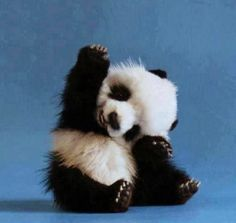 Panda♥ favourite animal! - I'm pretty tough, but this guy is SO cute