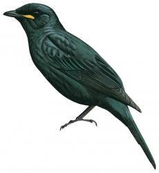 Petit's Cuckoo-shrike (Campephaga petiti)