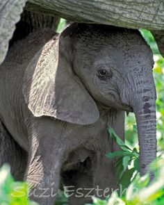 BABY ELEPHANT Photo, 8 X 10 Print, Baby Animal Photograph, Wildlife Photography, Wall Decor, Nursery Art, African Safari, Zoo, Cute, Calf. $25.00, via Etsy.