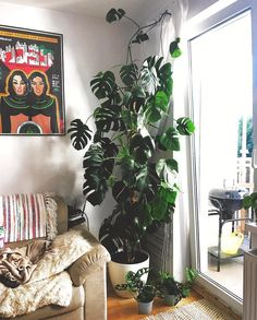 """10.4k Likes, 137 Comments - House Plant Club (@houseplantclub) on Instagram: """"Ever wondered what a 10 year old Monstera deliciosa looked like? Now you know! : @muggleplants…"""""""