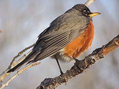 Wild Bird Company, Saturday Morning Bird Walk in Boulder CO – March Centennial Trail, American Robin, Walking By, Wild Birds, Walk On, Bouldering, March, Boulder Colorado, Saturday Morning