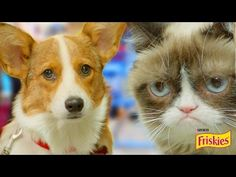 Happiness Finds Grumpy Cat Packs - YouTube Best Dog Breeds, Best Dogs, Corgi Gif, Grumpy Cat, Corgi Videos, Kitten, Happiness, Packing, Lol