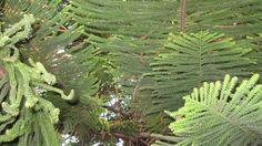 Rare Bunya-Bunya tree in Santa Cruz, CA