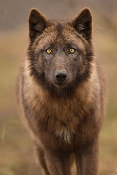 Ren isn't much smaller than Logan when in canine form. His fur is thick and appears a chocolate russet hue. His frame accounts for every step he's taken to be Alpha. His shoulders bear the perpendicular scars he also carries in human form.