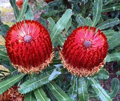 A Passion for Flowers - Bronze Menziesii Banksia Protea Flower, Flora Flowers, Unusual Flowers, Tiny Flowers, Amazing Flowers, Pretty Flowers, Australian Native Garden, Australian Native Flowers, Australian Plants