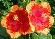 Tropical Hibiscus 'Rags to Riches'