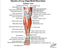 muscles of the leg - Google Search