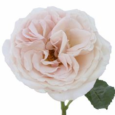 FiftyFlowers.com   Garden Rose Powder Pink
