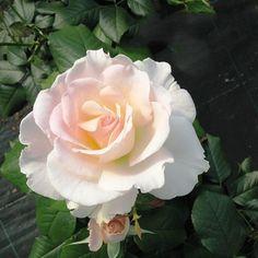'Horsens Rose' | HT, FL rose. Bred by Harkness (United Kingdom, 1994).