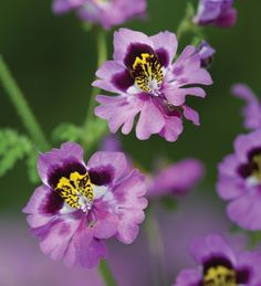 Schizanthus 'Dr Badger', also known as Poor Man's Orchid and Butterfly Plant. Sow in a greenhouse in august for flowers the following spring, and again in spring for summer flowers. Half hardy annual