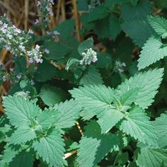 Catnip is a fairly easy to grow perennial and has significant mosquito repellant qualities. In 2001, the American Chemical Society, as share...